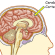 cerebralcortex