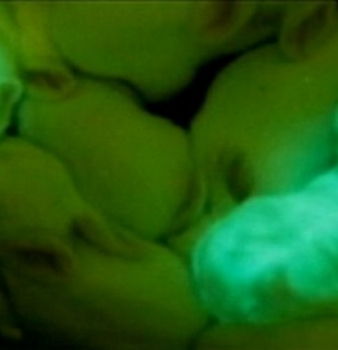 Scientists genetically engineer rabbits to glow in the dark
