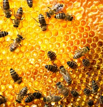 Study Connects High Fructose Corn Syrup to Bee Colony Collapse Disorder