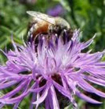 BUMBLEBEES GETTING STUNG BAD BY HONEYBEE SICKNESS