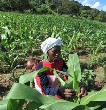 Zimbabwe: Govt Urged to Try GMO Crops