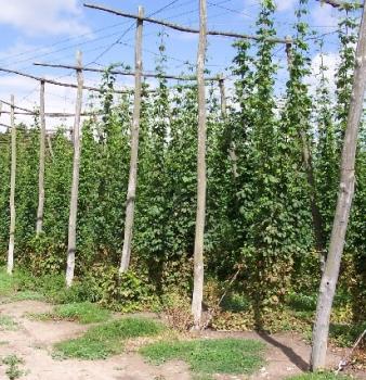 Community activists start urban hop garden in Minneapolis