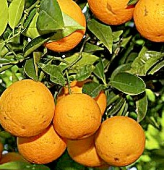 Florida counts on experimental trees to fight orange plague