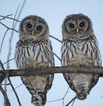 Federal government plans to exterminate 3,600 Owls