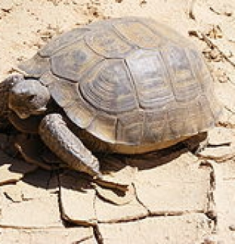 Federal Government Prepares to Euthanize Hundreds of Endangered Tortoises