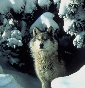 Competitive Hunting of Wolves, Coyotes in Idaho Sparks Outcry